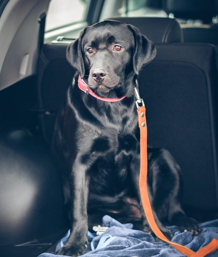 travel sickness in dogs